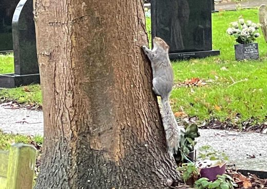 A squirrel climbing a tree at Hedon Cemetery